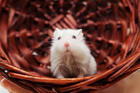 choosing  caring  mice  pets