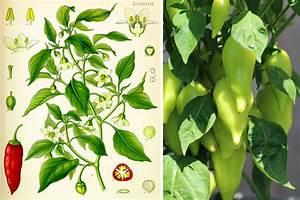 Paprika Pflanzen Pflege : paprika pflanzen selbst anbauen anleitung hilfe bei braunen flecken ~ Markanthonyermac.com Haus und Dekorationen
