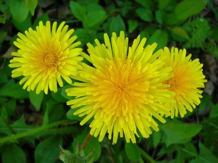 tarassaco fiore taraxacum officinale il tarassaco per depurare fegato e reni