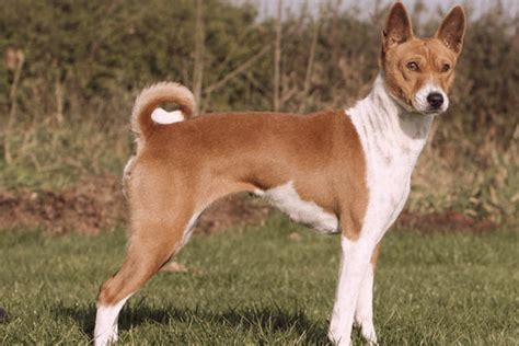 Basenji Shedding A Lot by Breeds That Dont Bark A Lot Breeds Picture