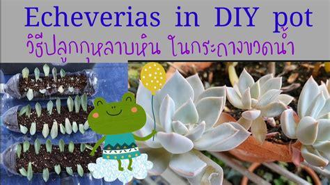 กุหลาบหิน echeveria วิธีปลูกในกระถางขวดน้ำ diy - YouTube
