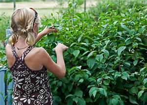 Gartenhibiskus Vermehren Stecklinge : hartriegel vermehren mit diesen methoden gelingt 39 s cornus ~ Lizthompson.info Haus und Dekorationen