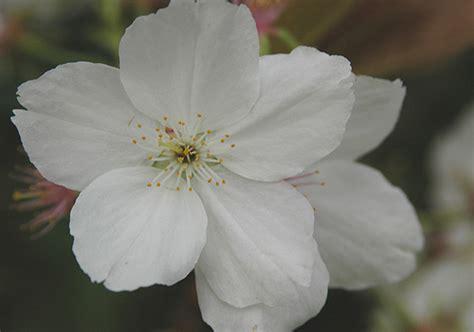 prunus tai haku landscape plants oregon state university