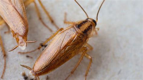 hausmittel gegen kakerlaken k 252 chenschaben bek 228 mpfen fallen und hausmittel gegen kakerlaken