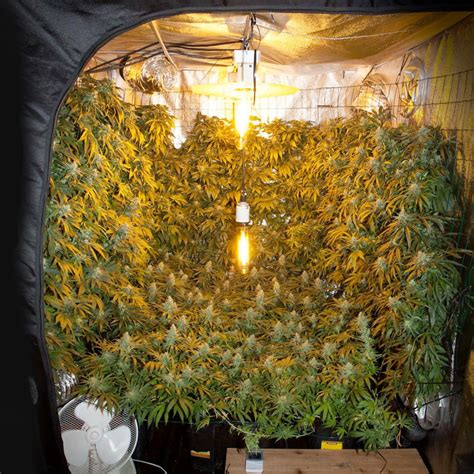 how to grow marijuana vertically seed shop