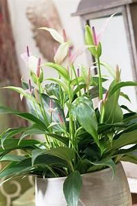 Lang Blühende Pflanzen : die besten 25 flamingoblume ideen auf pinterest phalaenopsis gro e zimmerpflanzen drinnen ~ Eleganceandgraceweddings.com Haus und Dekorationen