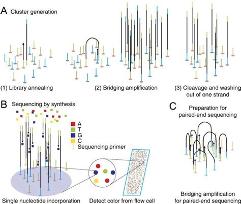 sequenziamento illumina figure 15 ngs cluster generation and read sequencing a