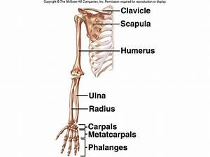 How Many Bones Are In The Arms And Hands