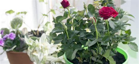 rosen im topf  wichtige pflegetipps willkommen