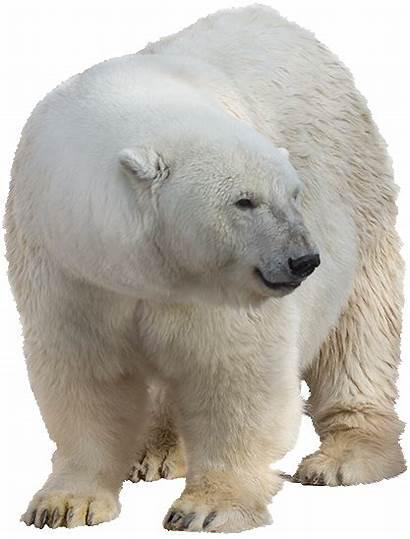 Polar Bear Transparent Animals Pngimg Pluspng