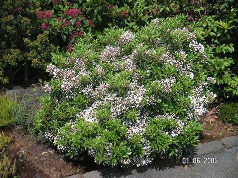 pictures of mountain laurel shrubs kalmia latifolia elf garden pinterest kalmia latifolia and gardens