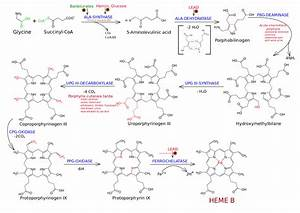 Org Flow Chart File Heme Synthesis Chemical Details Mirror Svg