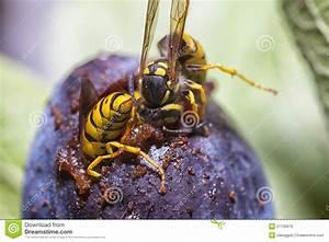 Was Essen Wespen : wespen die eine pflaume essen stockfoto bild von makro pflaume 27739970 ~ Frokenaadalensverden.com Haus und Dekorationen