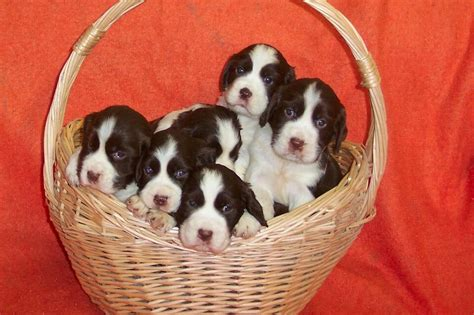 ckcregistered english springer spaniel dogs puppies