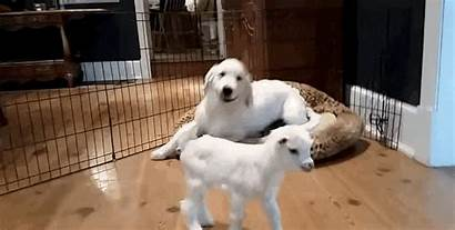 Goat Puppy Meets Confused Completely He Excited