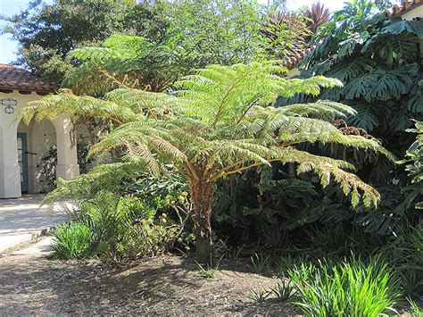 australian tree fern australian tree fern cyathea cooperi in longview kilgore tyler marshall texas thgc garden