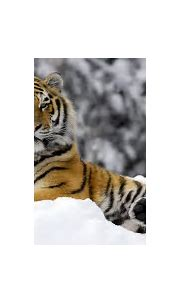 Tiger in Winter Wallpapers | HD Wallpapers | ID #9395
