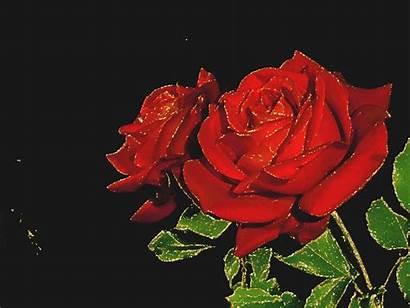 Rose Roses Rouge Gifs Rouges Scintillante Centerblog