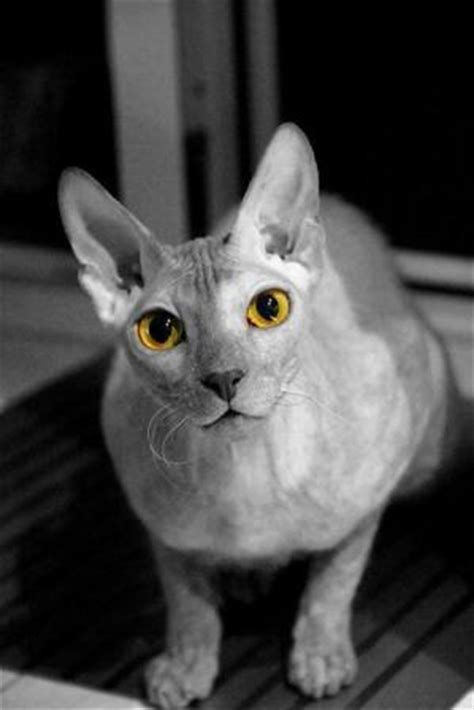 donskoy cat pictures  birth  adulthood