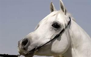 White Running Horse Wallpapers White Horses Running ...