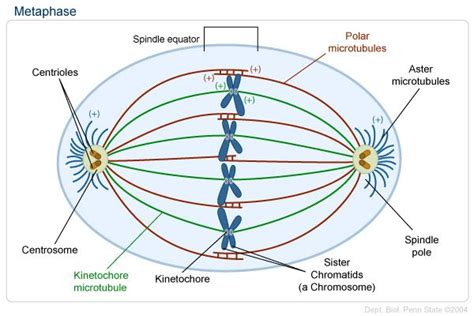 Metaphase (3rd Stage)- Spindle Fibers Align The