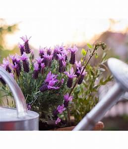 Schopf Lavendel Tee : schopf lavendel dehner ~ Michelbontemps.com Haus und Dekorationen