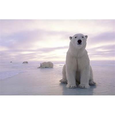 Polar Bear (Ursus maritimus)The Journal of Animal