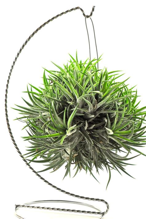 air plant air plant variety ionantha balls unique natural gifts gifts under