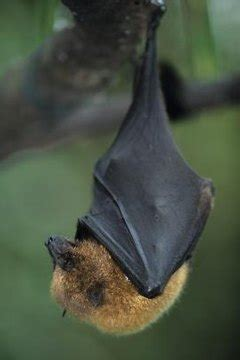 bats  fangs animals momme