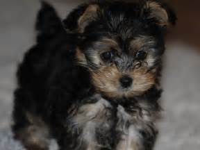 puppies for sale that do not shed dog breeds picture