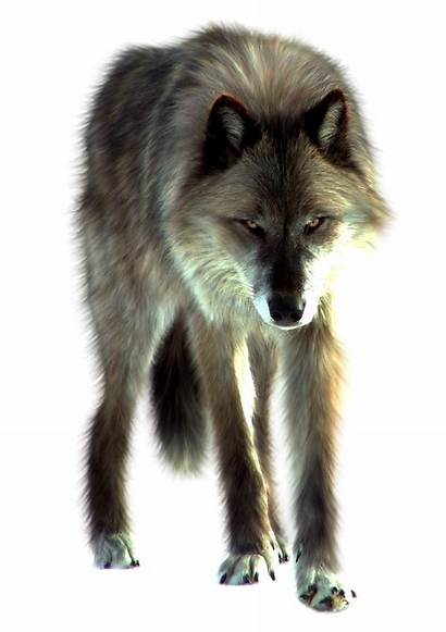 Wolf Transparent Animals Rock Clipart Gray Imag