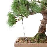 bonsai formen mit draht bonsai 196 ste mit draht formen bonsai empire