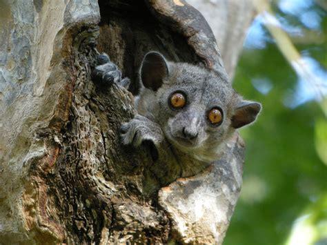 Filered Tailed Sportive Lemur Kirindy Madagascar