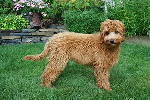 Large Dog Breeds That Don T Shed - Dog Breeds Puppies