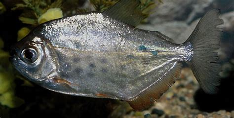 rainbowfish fish breeds information  pictures