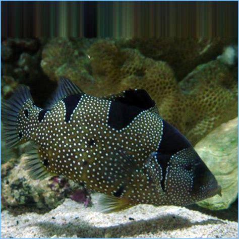 grouper fish clown spotted soapfish aquarium