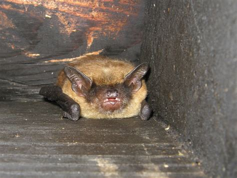 bats roost in attics during the winter abc humane wildlife
