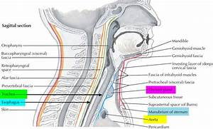 Trachea - Anatomy  U0026 Function