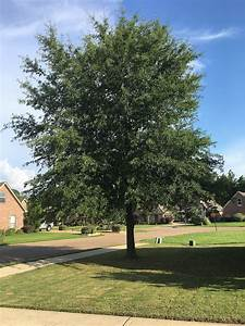 image of a family tree quercus phellos wikipedia