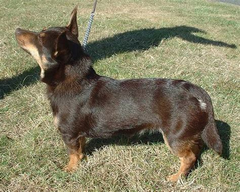 Miniature Blue Heeler Shedding short haired small dogs breeds for those that to groom