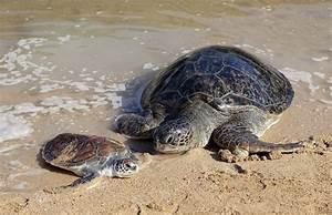 The Largest Sea Turtles