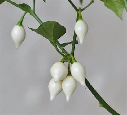 Chilli Seeds Seedz