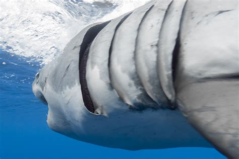 gill filaments great white shark a up look at gill filaments great white shark a up look at