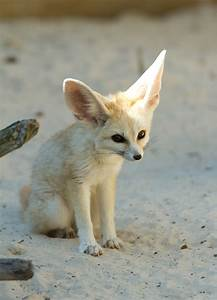 Fennec fox ( Vulpes zerda ) by steven whitehead / 500px