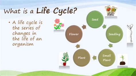 year  life cycle   plant youtube