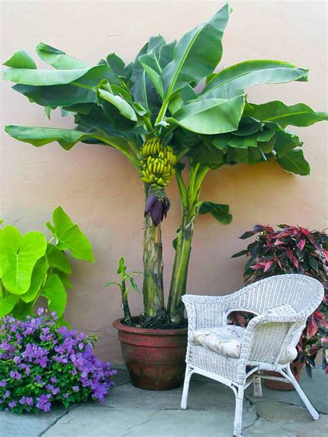 in a pot how to grow banana trees growing banana trees in pots