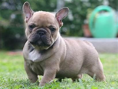 Bulldog French Puppies Bull Dog Puppy Bulldogs