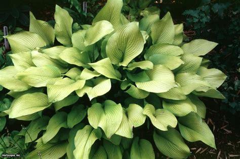 Hosta Varieties for Your Shade Garden | HGTV