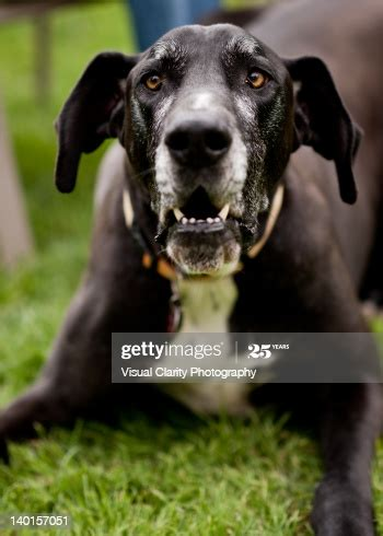 angry great dane stock photo getty images