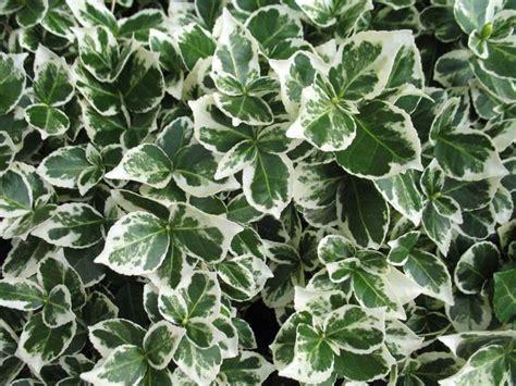 white nursery euonymus fortunei emerald gaiety wood cottage nursery